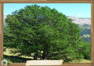 meleze,arbre genealogique gratuit � imprimer